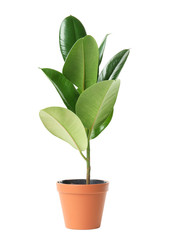 Beautiful rubber plant in pot on white background. Home decor