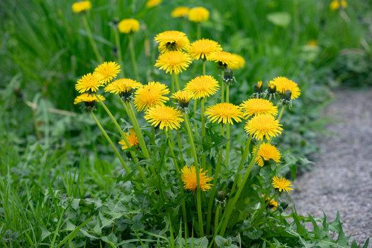 Flora Flowers Yellow Field Garden Dandelions Natural Perennial Weed