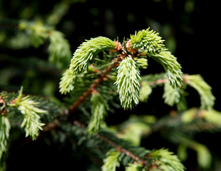 Fototapete - young green shoots on the branches of spruce
