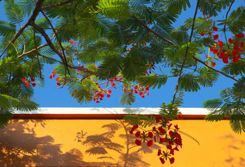 red summer flower, flamboyant make shadow on yellow wall on blue sky