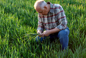 Senior farmer standing in young wheat field and examining crop.