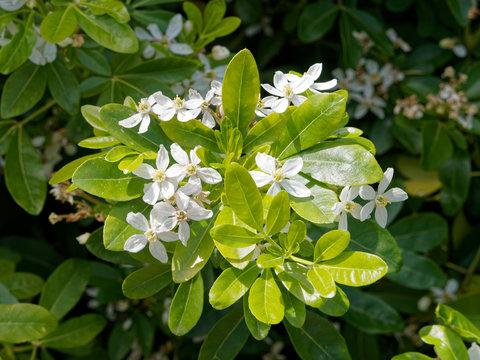 Oranger du Mexique (Choisya ternata) aux feuilles et fleurs étoilées blanches aromatiques