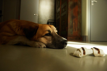 A dog lying at his bone missing his owner
