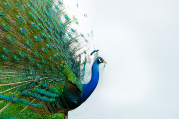 Fotorolgordijn Pauw Peacock with tail in plume spread