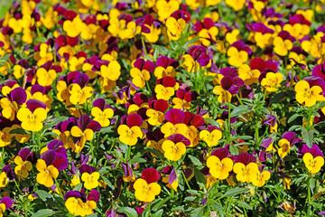 Blühende Hornveilchen, Viola cornuta