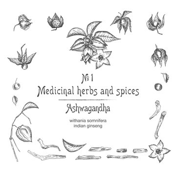 Set of Ashwagandha hand drawn patterns with berries, lives, roots and branch in black color on white background. Retro vintage graphic design Botanical sketch drawing
