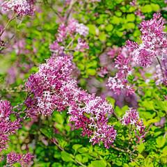 Zwergflieder, Syringa, im Frühling