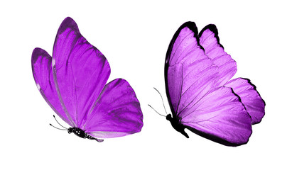 beautiful two purple butterflies isolated on white background Wall mural