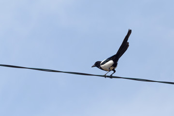 curious magpie sitting on electric cable against blue sky