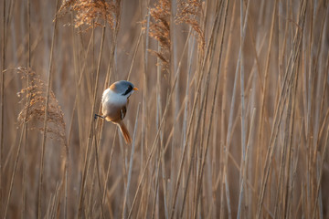 Wall Mural - Perched Male Bearded Tit - Reedling on reeds