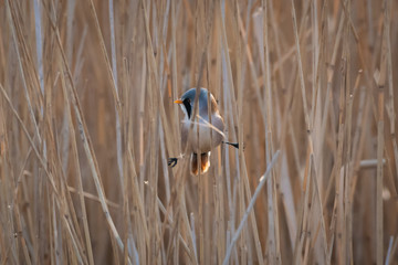 Fotoväggar - Perched Male Bearded Tit - Reedling on reeds