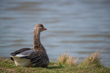 Fotoväggar - Greylag Goose