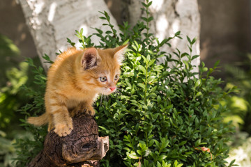 Red kitten on a stump on a sunny summer day in the park. in full growth. the kitten is ready to jump