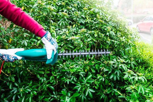 Cutting a hedge with electrical hedge trimmer. Shrubs pruning in the springtime.