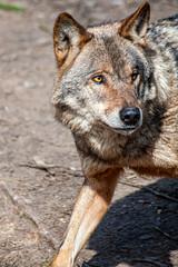 Scheuestes Raubtier Deutschlands: der Wolf