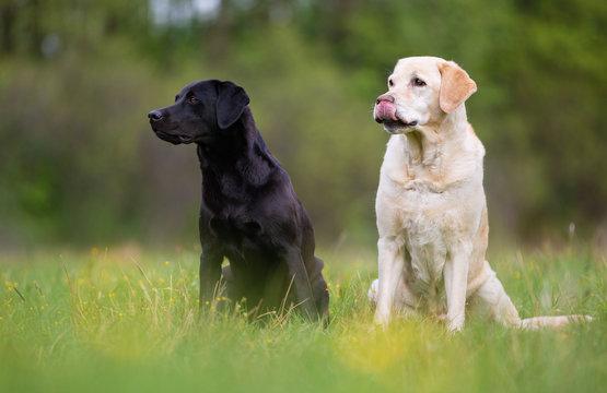 Two Labrador Retriever dogs. Small depth of field