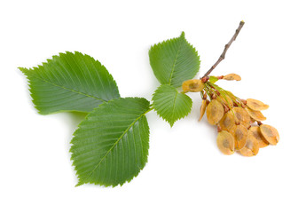 leaves and seeds of Elms Isolated on white background