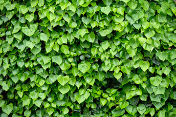 Detail of a house wall completely covered with different green leaves
