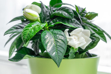 Gardenia flower in a pot, being sprayed with water, gardening at home