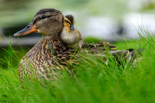 Affectionate relationship between mom and her son or daughter. Lovely baby duck nestles to the head of her / his mom.