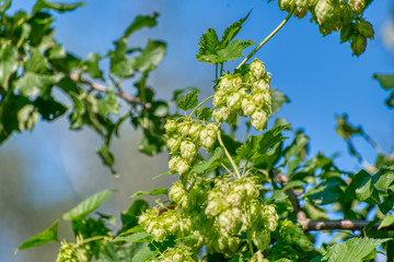 Plant hops. Agricultural plant, the main component in the production of beer