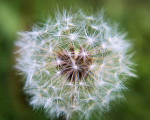 Close-up picture of a dandelion puff seed pod