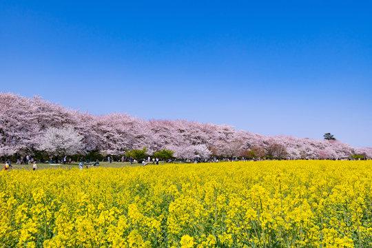 埼玉県幸手市 権現堂の桜と菜の花畑