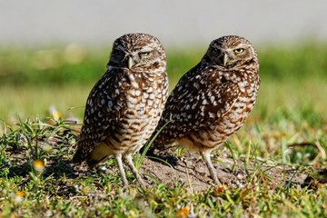 Kanincheneule / Burrowing Owl in Cape Coral, Florida