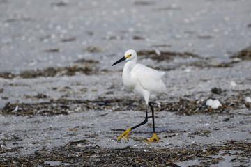 Weißer Reiher am Strand in Florida