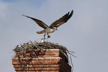 Fischadler Nest
