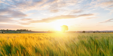 Gold Wheat flied panorama with tree at sunset with clouds, rural countryside