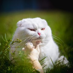 White Scottish Fold cat with white sugar glider on grass