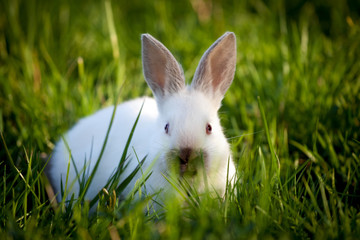 Funny white rabbit sitting on green grass