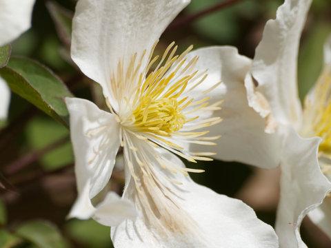Fleurs de clématites armandii de ton blanc et toupet jaune