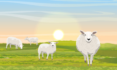 A herd of four fluffy white sheep in a meadow. Green grass and sunrise. Farm. Realistic Vector Landscape