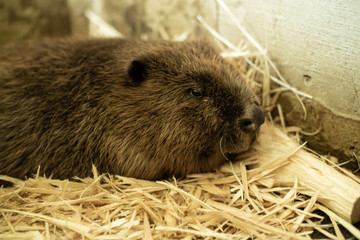 River beaver lying on wood shavings and looking sad. Side view, close up. Depression concept. Nature biosphere reserve in Voronezh Oblast.