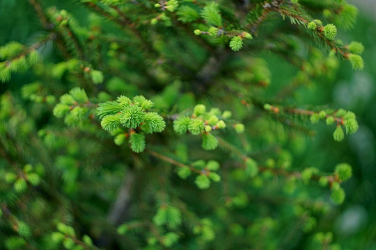 Fresh spruce tree branches in the forest