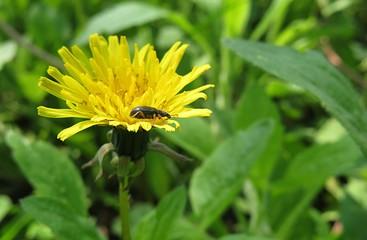 Fotobehang Lieveheersbeestjes Dandelion flower