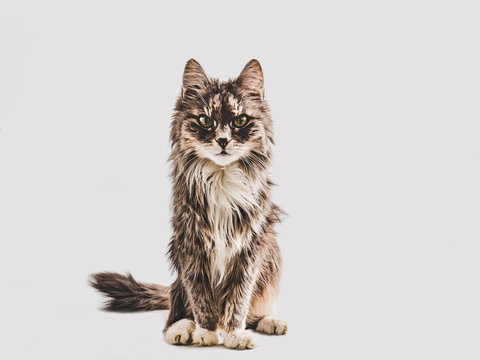 Cute, gray kitten on a white background. Close-up, isolated. Beautiful studio photo. Pet care concept