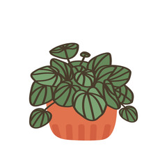 Peperomia. Pot plant. Houseplant isolated on white background. Vector illustration in hand-drawn flat