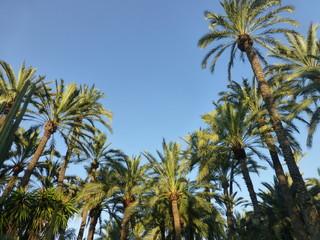 Palm groves of Elche. El Palmeral.Alicante,Spain