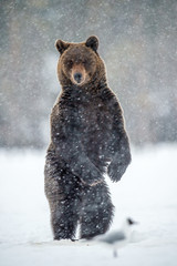 Adult brown bear standing on his hind legs on the snow in the winter forest. Snowfall. Scientific name: Ursus arctos. Natural habitat.