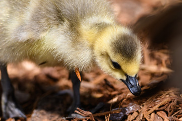 Newborn Gosling Learning to Search for Food