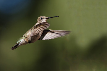 Black-Chinned Hummingbird Hovering in Flight Deep in the Forest