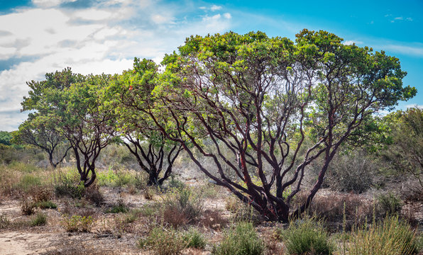 Monterey Manzanita trees (Arctostaphylos hookeri) are common at the Fort Ord National Monument, in Salinas, California, in (Monterey County).