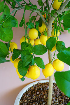 View of a potted lemon tree growing in a container
