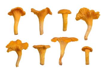 Fototapeta Chanterelles or girolles mushroom. obraz