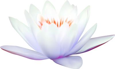 light blue water lily on white illustration
