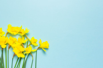 Obraz Spring floral background. Yellow narcissus or daffodil flowers on blue background top view flat lay. Easter concept, International Women's Day, March 8, holiday. Card with flowers. Place for text - fototapety do salonu