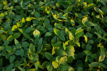Young plants of soybean close-up